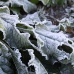 trihealth frosty leaves