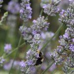 trihealth lavender 2