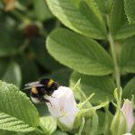 rosy bee