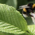 rosy bee 2